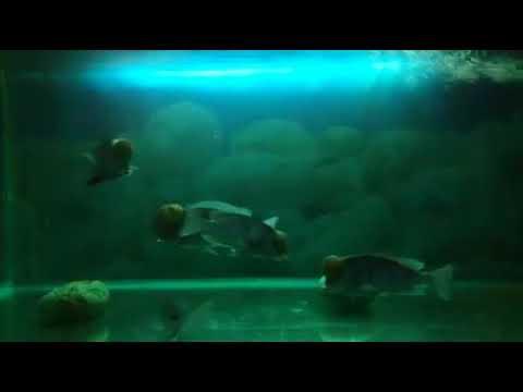 Kafalı Ankara Yunusu / Blue Dolphins
