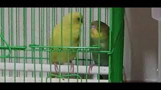 새들의 일상 0023 - 털 관리하는 연두, 다롱이의 …