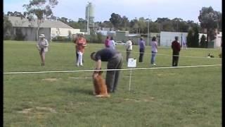 Golden Retriever: Knox Novice Obedience 2008