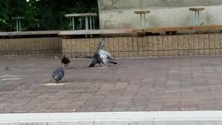 ただただ鳩と鳩が激しくぶつかりあう。 結構激しいケンカ(ハト)