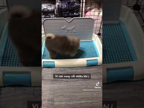 Huấn luyện chó ị đúng khay vệ sinh | Phương pháp BossDog