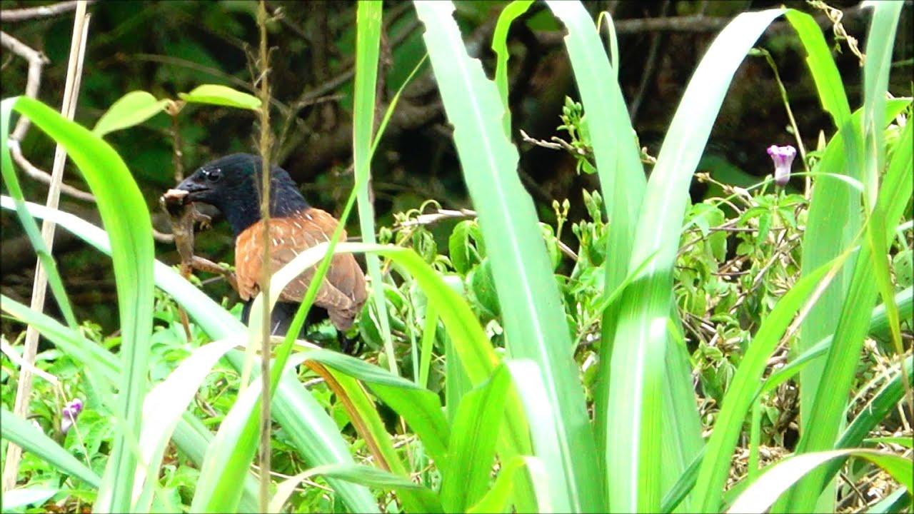 番鵑/小鴉鵑(Lesser Coucal) (南港山水綠生態公園, 2019年6月8日) - YouTube
