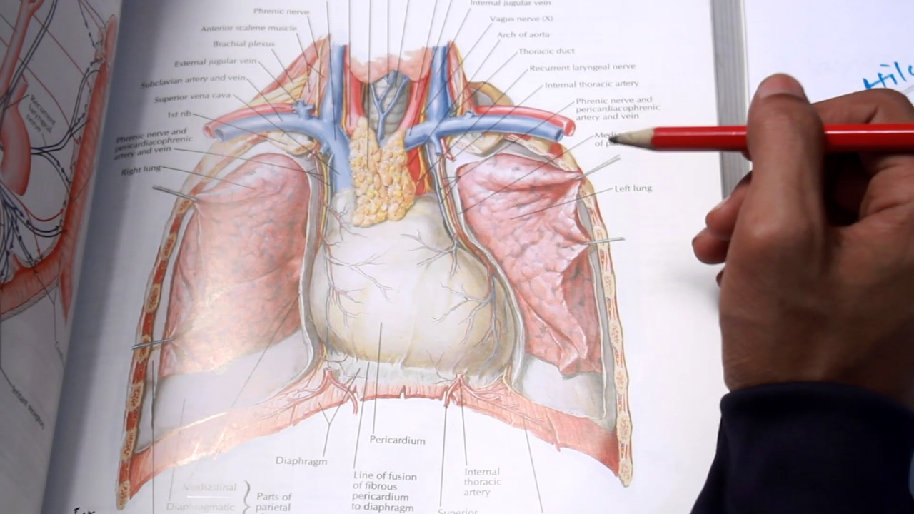 Lungs (Gross Anatomy) Part 1 - YouTube