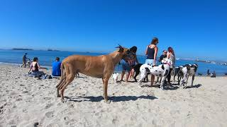 Cash 2.0 Great Dane at Rosie's Dog Beach in Long Beach, CA  organized  Great Dane meetup (3 of 9)