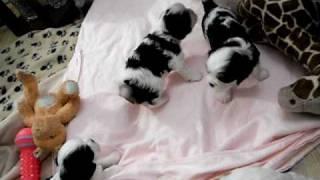 Cavalier King Charles Spaniel Puppies 4 Weeks Old