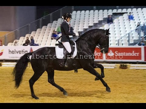 BLACK ANDALUSIAN DRESSAGE STALLION