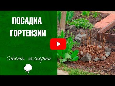 Сорта гортензии ➡ Посадка и уход за гортензией метельчатой. Как правильно выращивать цветы.