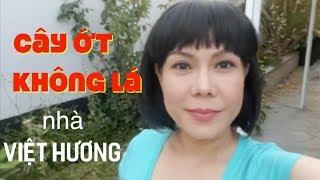 Cây Ớt Không Lá Nhà Việt Hương