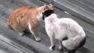 Кошачьи войны Прикол