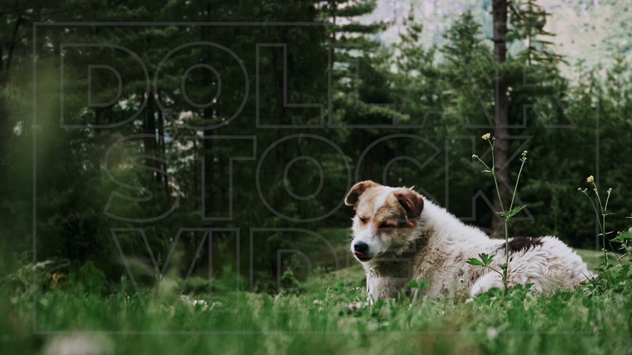 Dog Lays Down in Field of Grass in the Mountains   Dog Laying the Woods   Stock Footage of Dogs