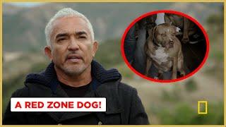 Calming A Red Zone Dog (Better Human Better Dog)