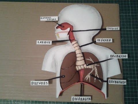 Como Hacer Maqueta Aparato Respiratorio 1