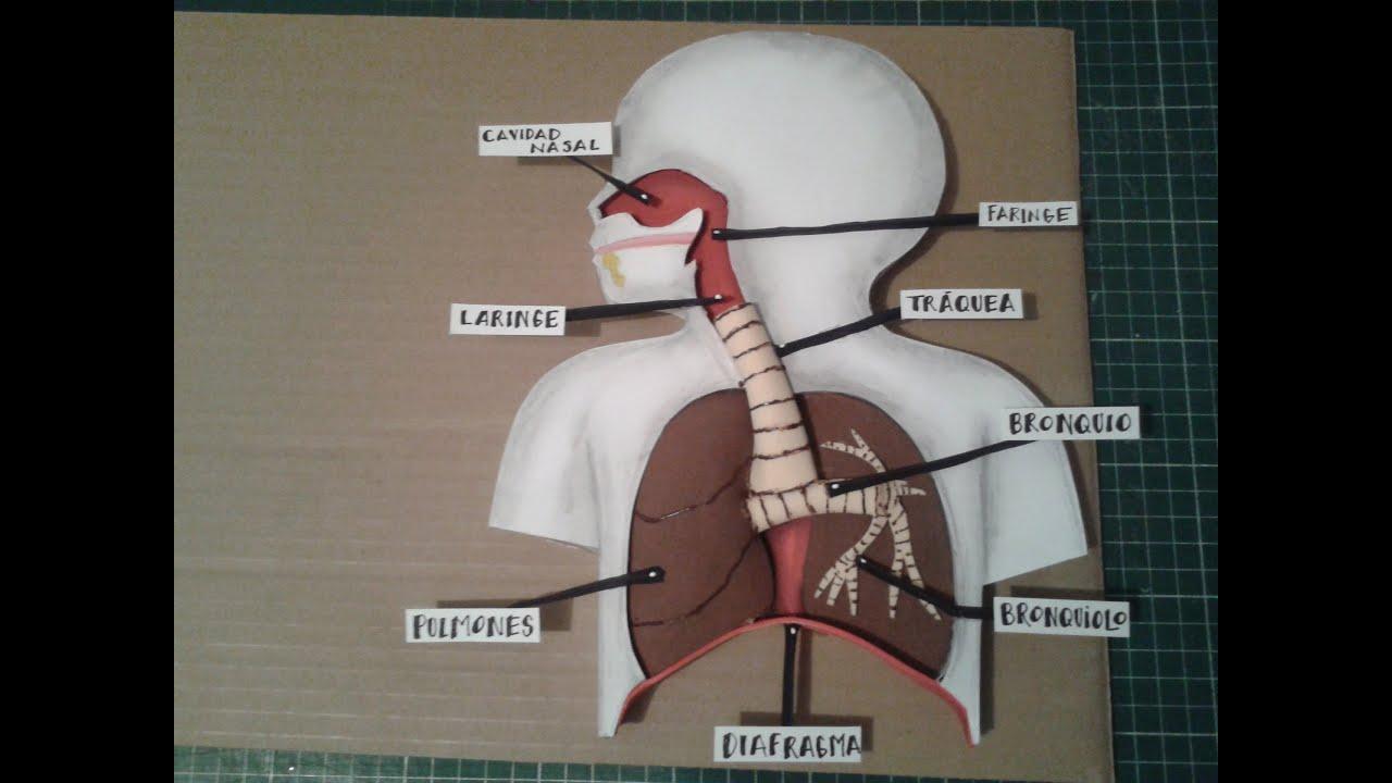 Como Hacer Maqueta Aparato Respiratorio 1 - YouTube