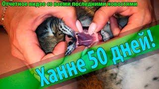 Котёнку рыси 50 дней! Рассказ о том, чему научилась Ханна