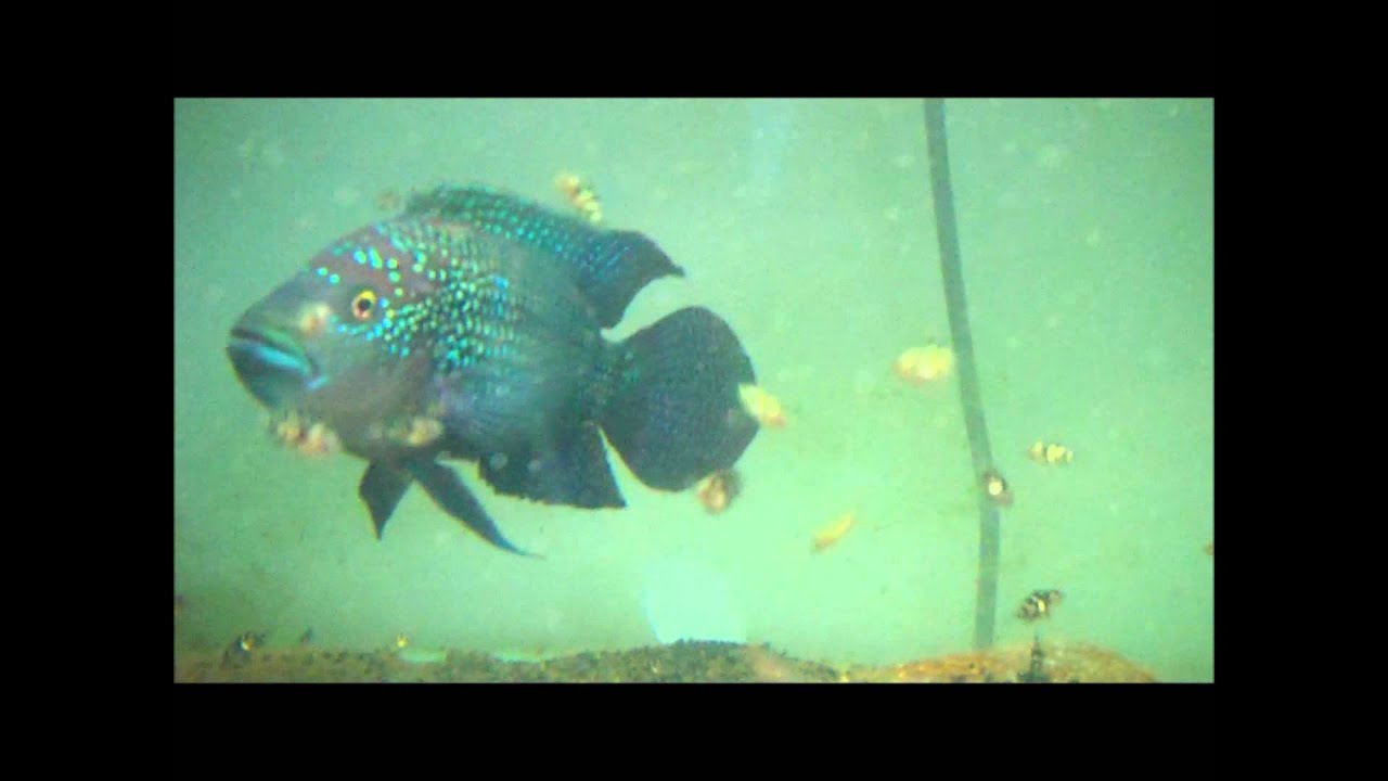 Electric Blue Jack Dempsey 1 month old fry & Father - YouTube