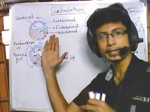 Developmental biology part 3 : Gastrulation