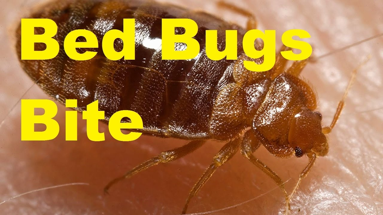 how to get rid of bed bugs youtube