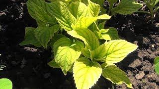 Хлороз листьев гортензии. Как ей помочь.