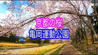【散歩】京都の桜 亀岡運動公園 2019 櫻 Cherry blossoms in Kyoto