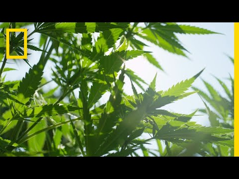 Cannabis 101   National Geographic