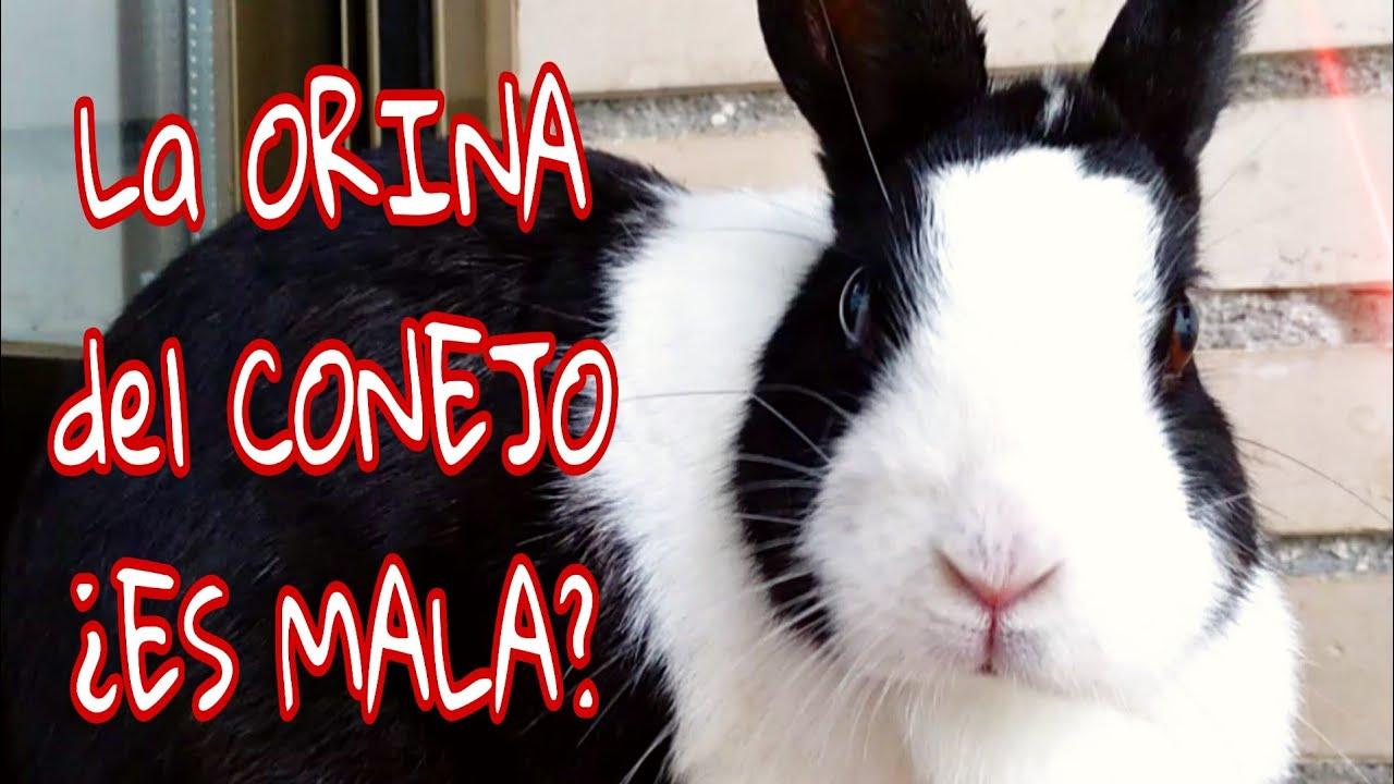 ¿La orina del conejo es dañina? 😱