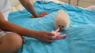 Cute Female Cream Pomeranian Puppy Playing 8 Weeks