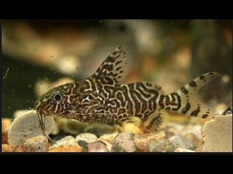 Upside-Down Catfish -  Synodontis - Cat Fish