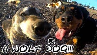 WILD: Malamute WOLF DOG Hybrid Enters Dog Park, KzE Talks Love Life