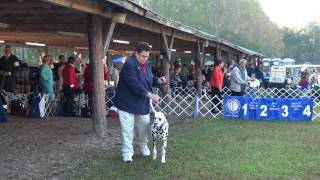 Ocala, Fl Dog Show (11-20-11) - Dalmatian Breed Judging