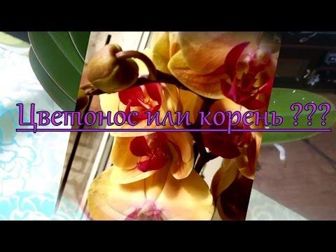 Как отличить цветонос от корня. Орхидея Голден Бьюти