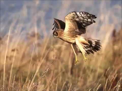 Hen Harrier Ireland.wmv