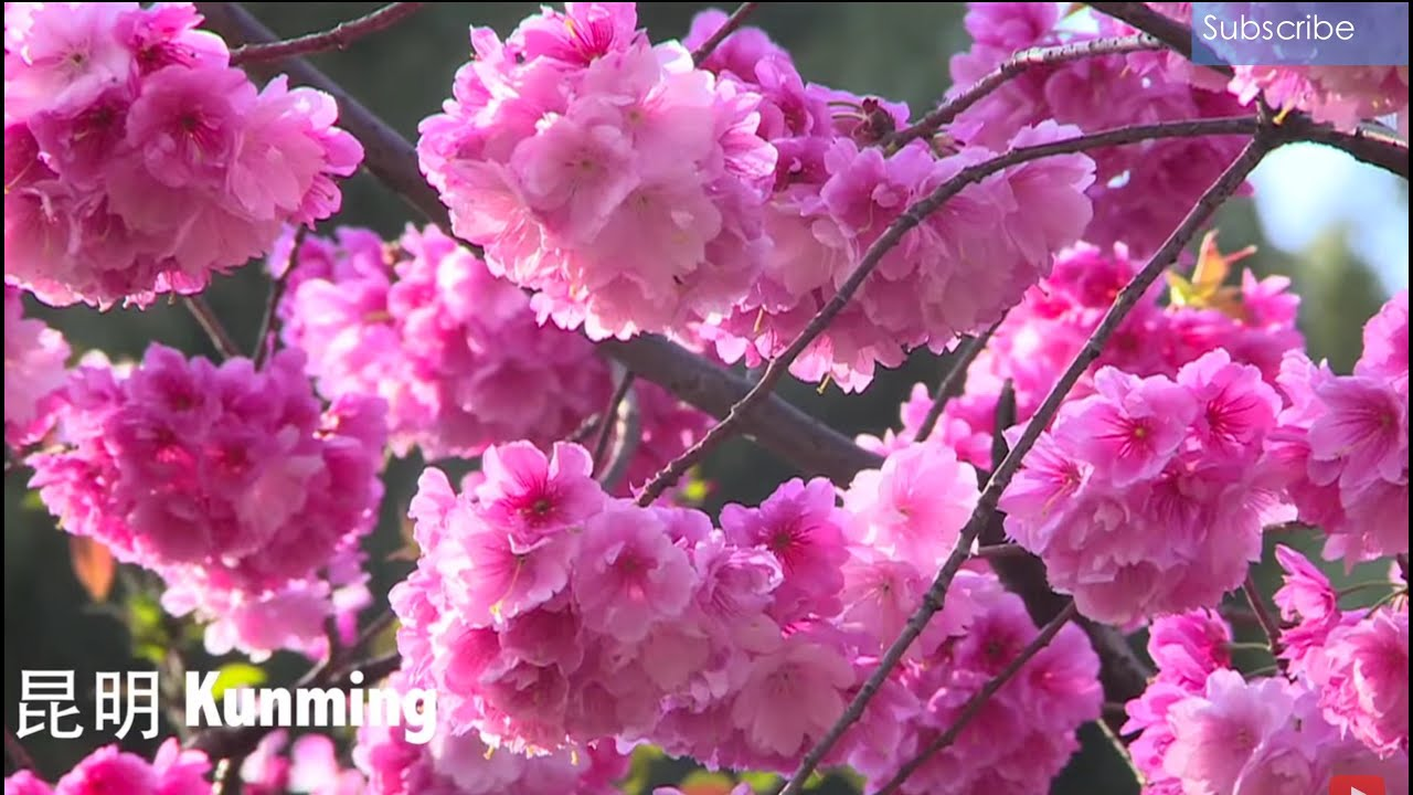 Amazing China Heavenly Flowers Of Spring Youtube