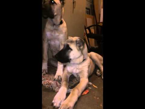 Turkish Boz Shepherd Puppies