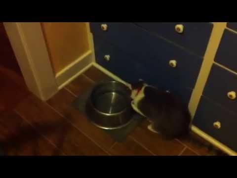 Polydactyl cat, Mittens, drinking
