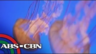 Bandila: How to treat venomous jellyfish sting