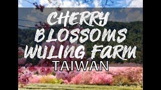 TAIWAN: CHERRY BLOSSOMS(a.k.a. SAKURA) SEASON! WULING FARM(武陵農場)