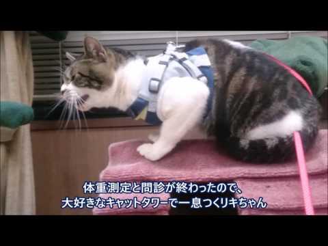 動物病院でまたまた烈火のごとく怒る猫リキちゃん☆キャリーバッグへの帰還失敗【リキちゃんねる 猫動画】Cat videos キジトラ猫との暮らし