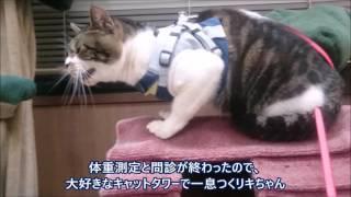 動物病院でまたまた烈火のごとく怒る猫リキちゃん☆キャリーバッグへの帰還失敗【リキちゃんねる 猫動画】Cat videos キジトラ猫との暮らし thumbnail