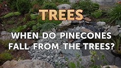 When Do Pinecones Fall From the Trees?