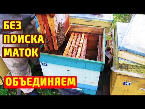 Как объединить пчел осенью
