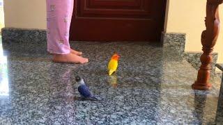 Hai Con Vẹt LoveBird Nghịch Như Quỷ screenshot 3