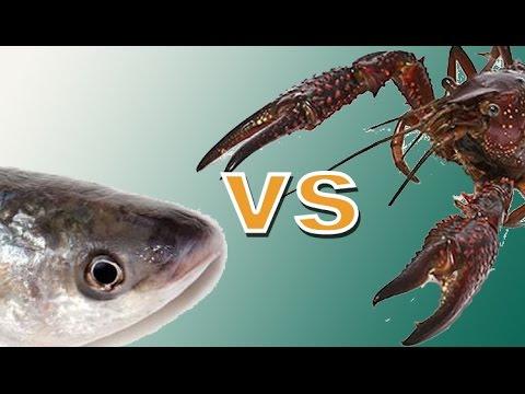Catch Catfish Crawfish Vs Cut Bait