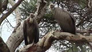 Cape Vultures. Капский сип (polozov 1168)