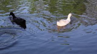 W Lotus Ducks Eating on the Pond