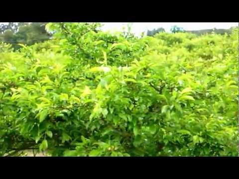 Fertilizante 100% Organico Liquido Lombricol FO-E01 en Cultivo de Ciruela