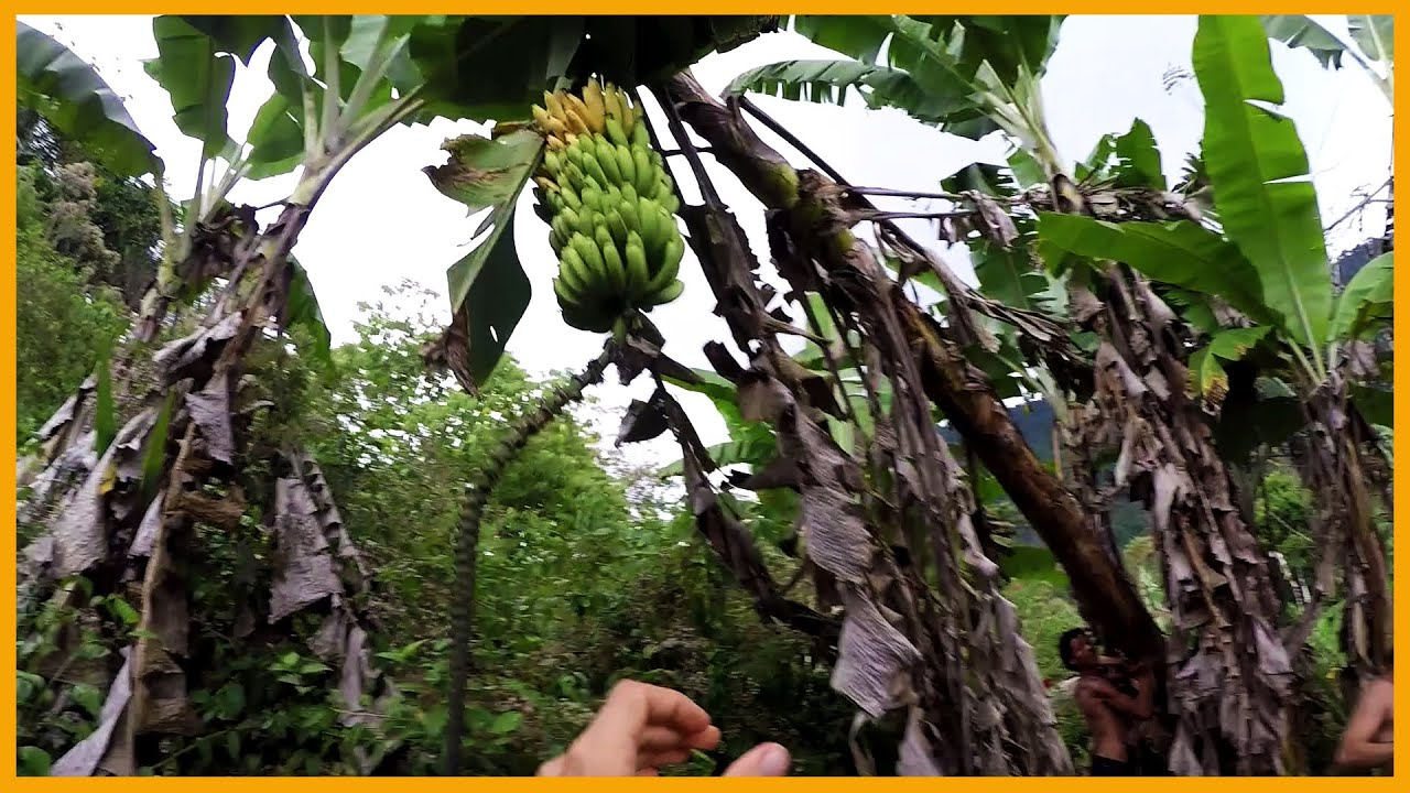 harvesting bananas in costa rica it didn 39 t go exactly as. Black Bedroom Furniture Sets. Home Design Ideas