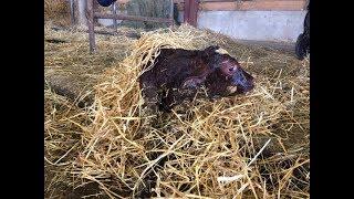 Vêlage d'une vache à lait #8