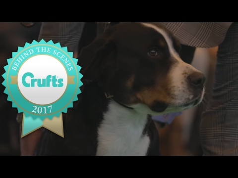 Introducing the Great Swiss Mountain Dog at Crufts 2017