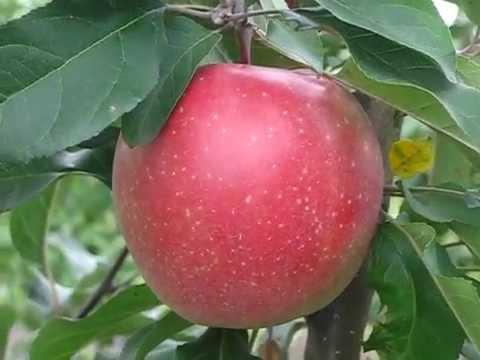 Сорт яблони Гала фото, отзывы, описание, характеристики