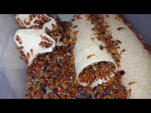 Как быстро размножаются тараканы в квартире
